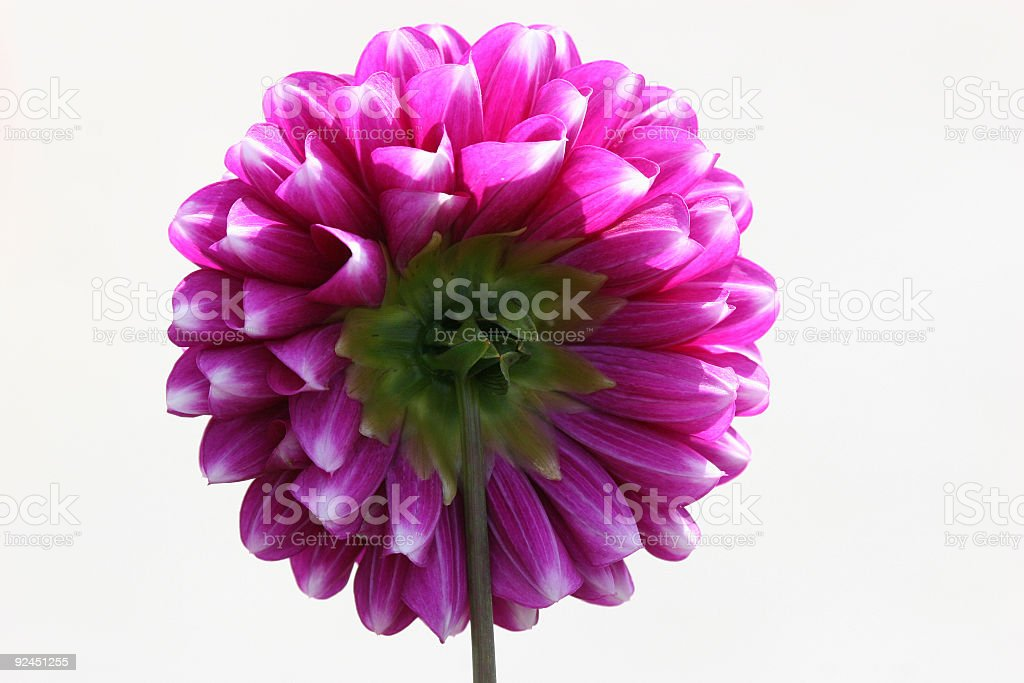 Pink flower blossom royalty-free stock photo
