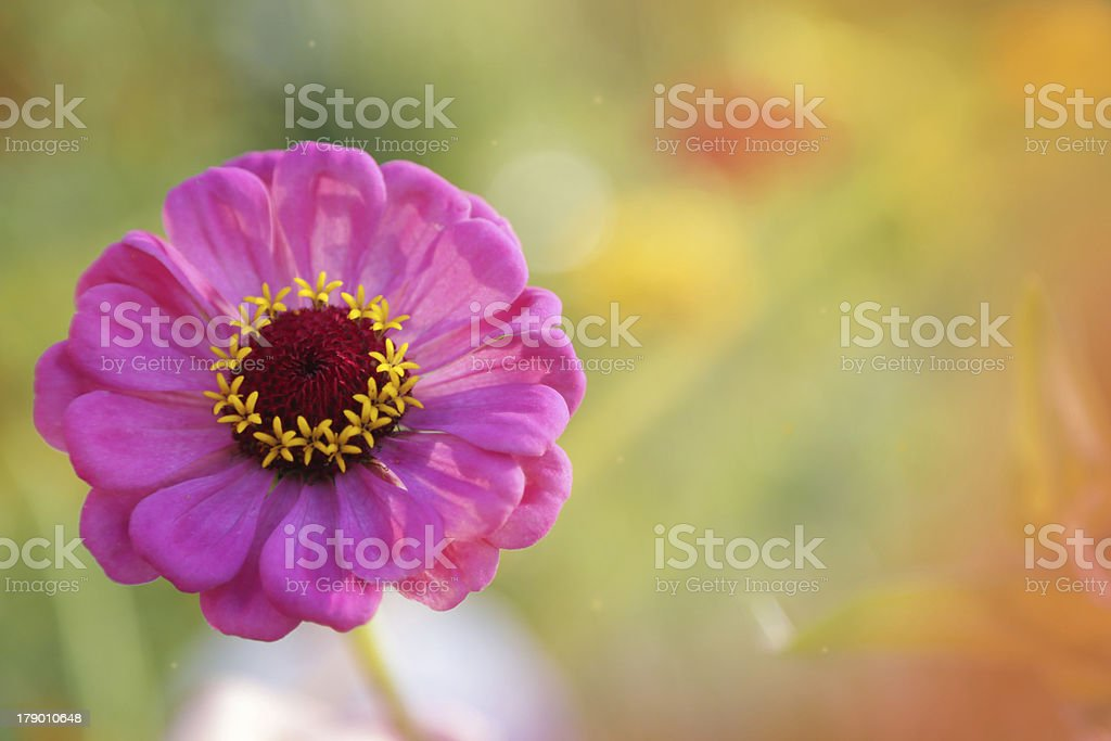 Pink flower close up royalty-free stock photo