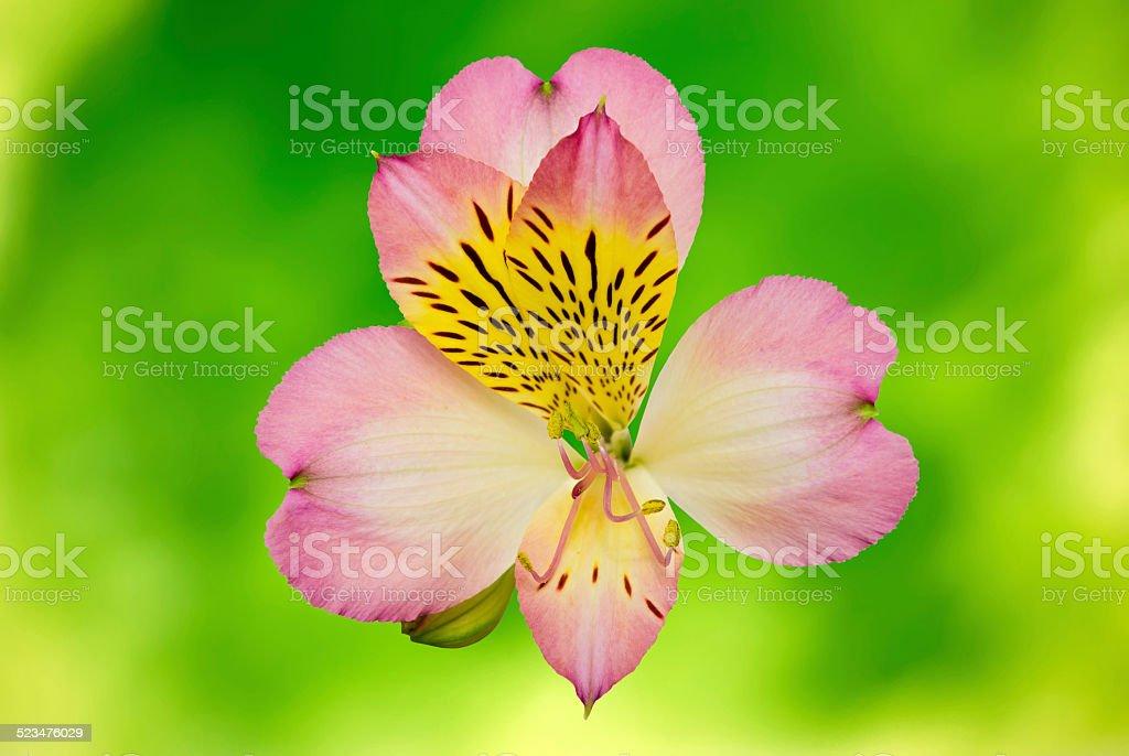 Pink flower closeup, alstroemeria stock photo