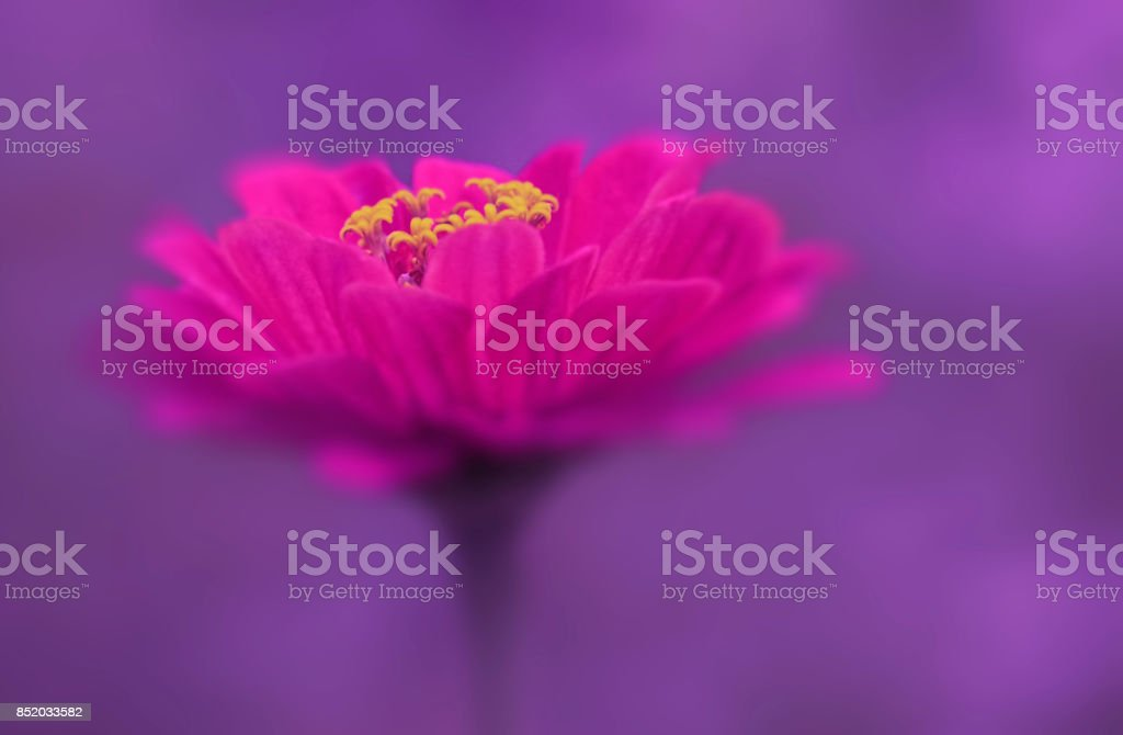Pink flower close-up on a purple blurred background. Soft focus. Nature. stock photo