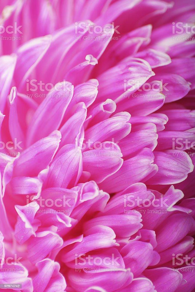 Pink Flower closeup stock photo