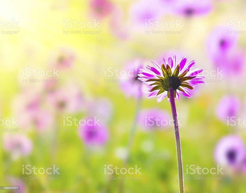 Pink flower field royalty-free stock photo