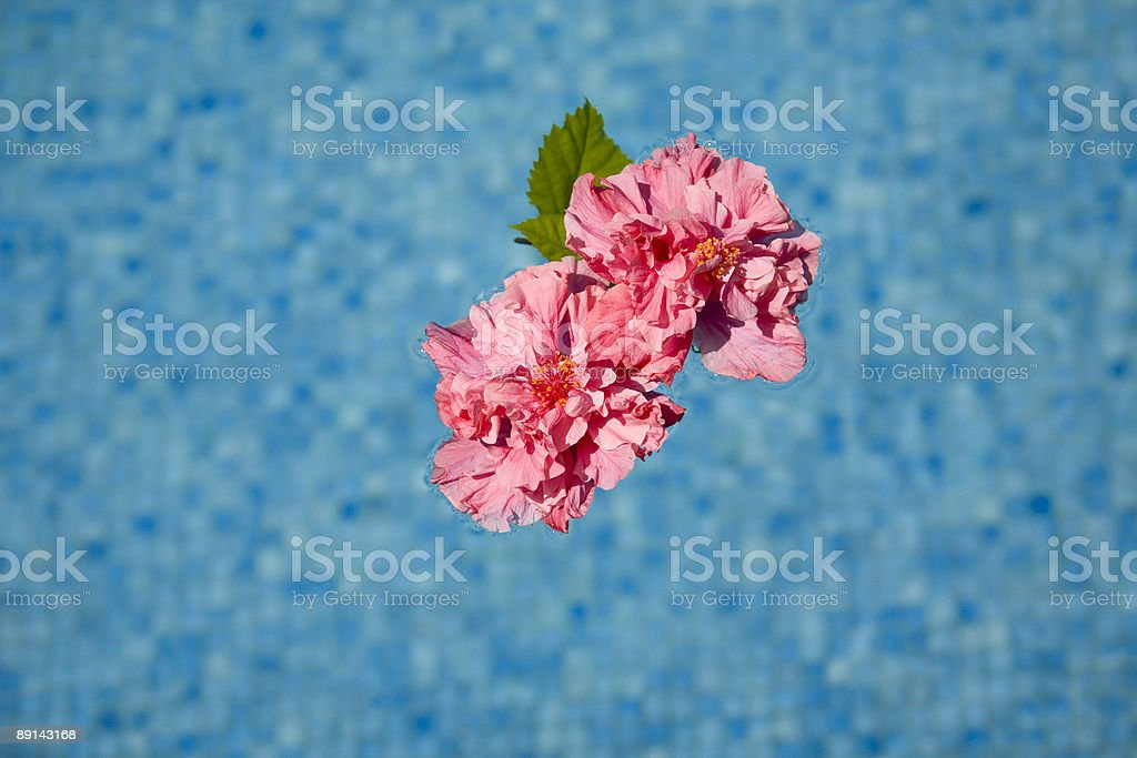 pink flower floating in a swimming pool royalty-free stock photo