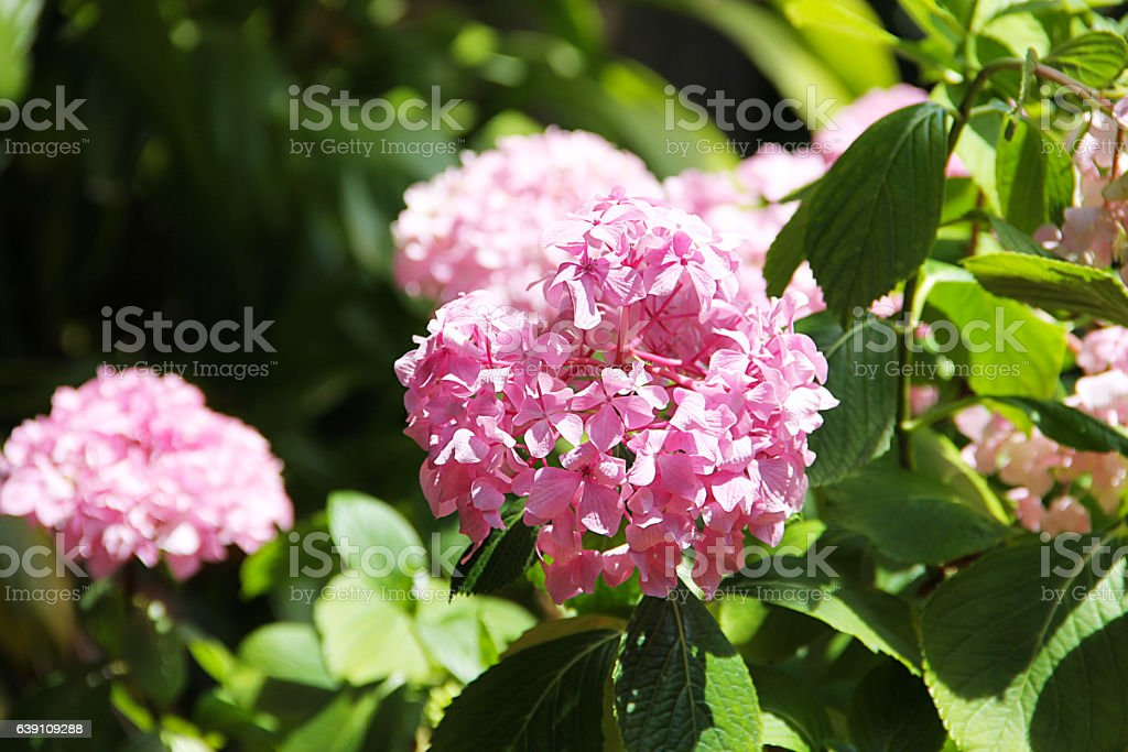 Pink flower hydrangea surrounded by green leaves.