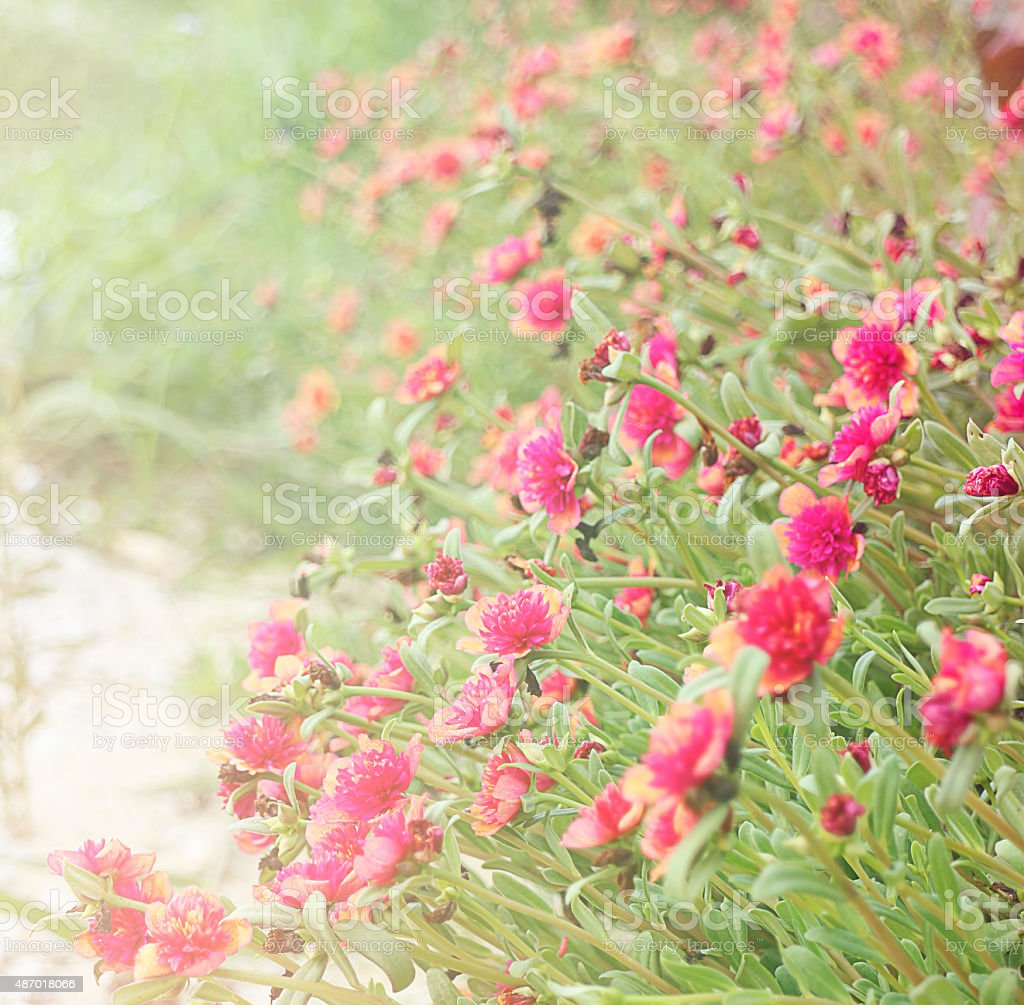 pink flower in morning royalty-free stock photo