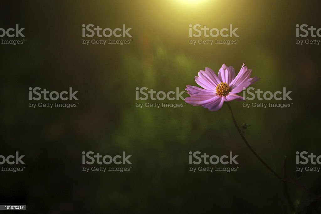 Pink flower in sunset royalty-free stock photo