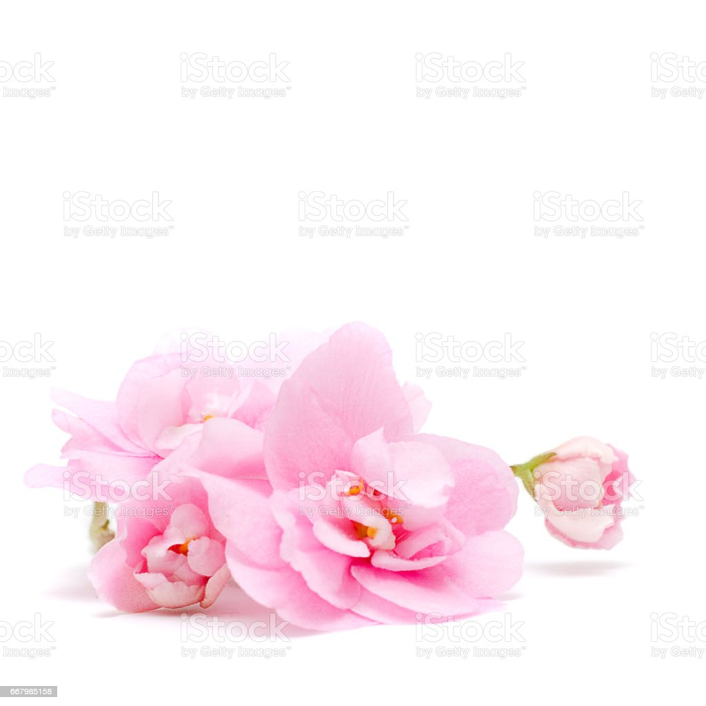 Pink Flower isolated on white - tender floral background