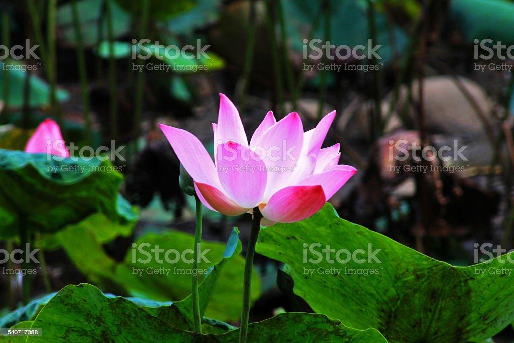 Pink Flower Lily lotus bloom at Bogor Botanical Garden, Indonesia stock photo