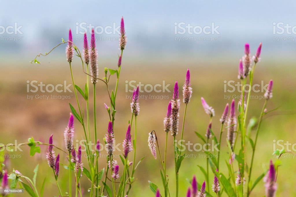 Pink flower Obedient Plant alike stock photo