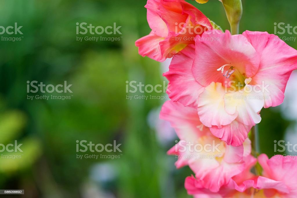 pink flower of a gladiolus and small beetle inside stock photo