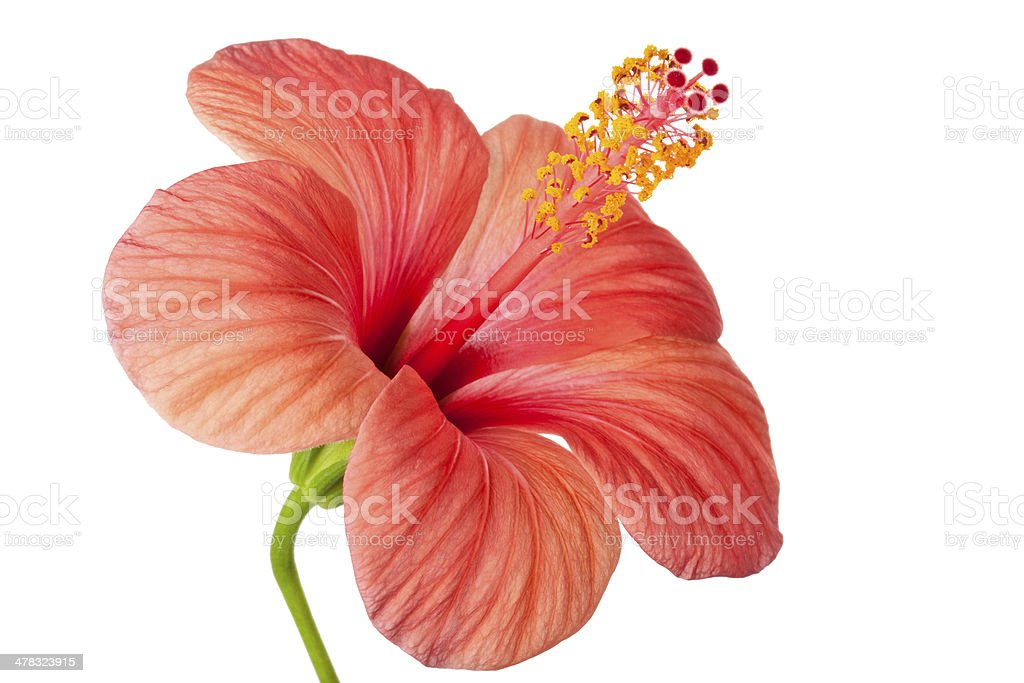 Pink flower of Hibiscus royalty-free stock photo