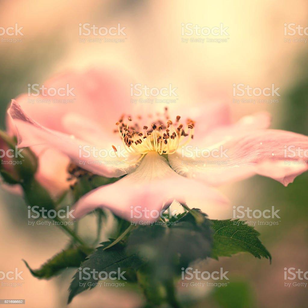 Pink flower of wild rose stock photo