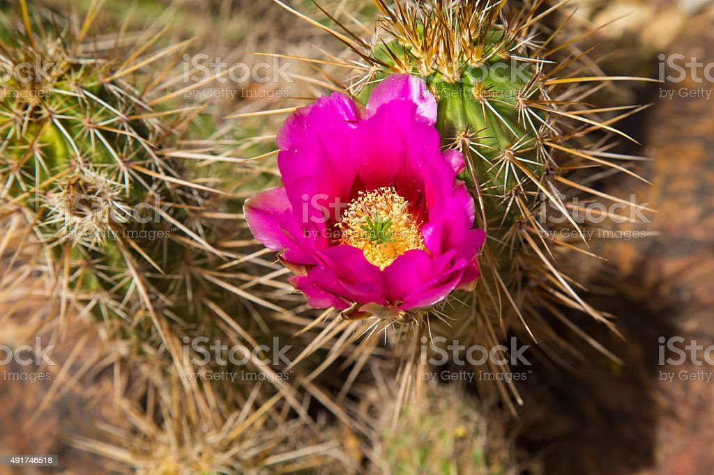 Pink Flower on Cactus stock photo