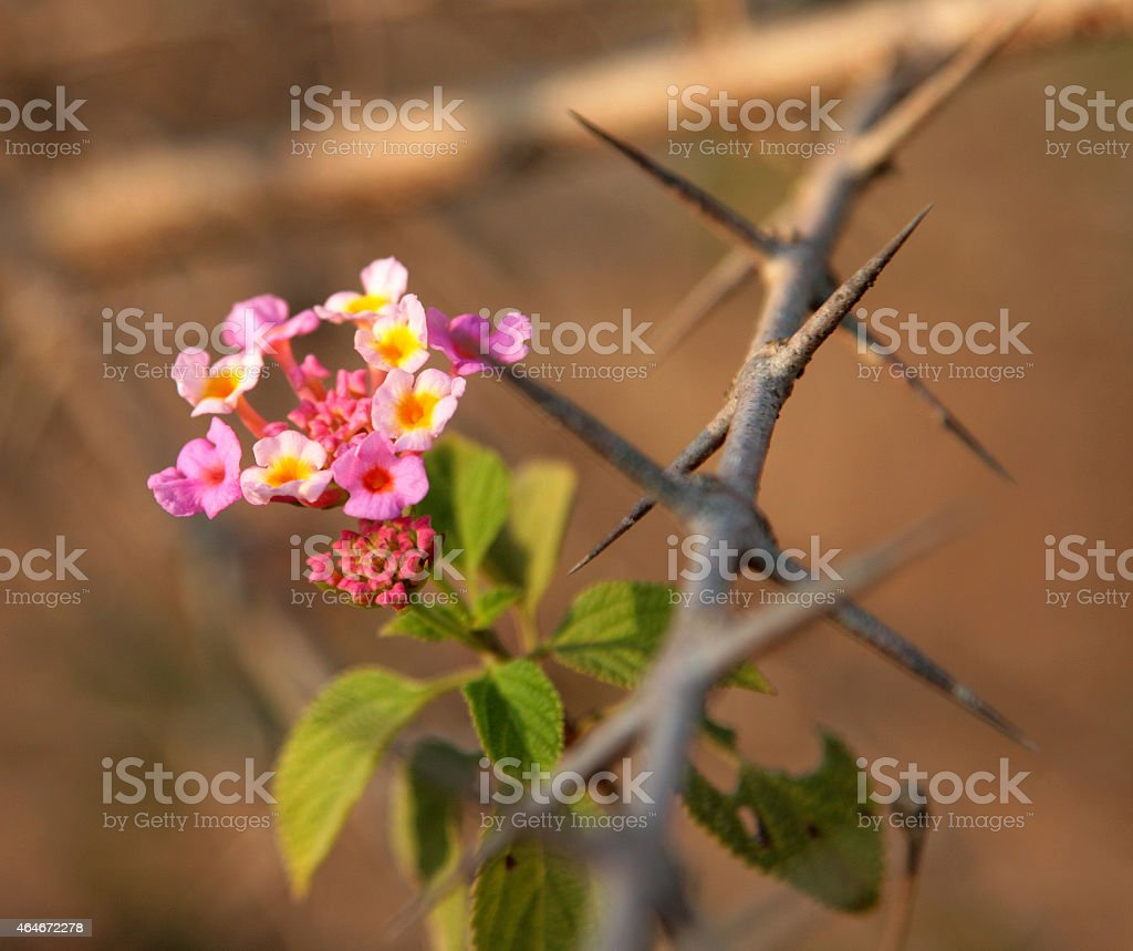 pink flower on the barbed wire stock photo