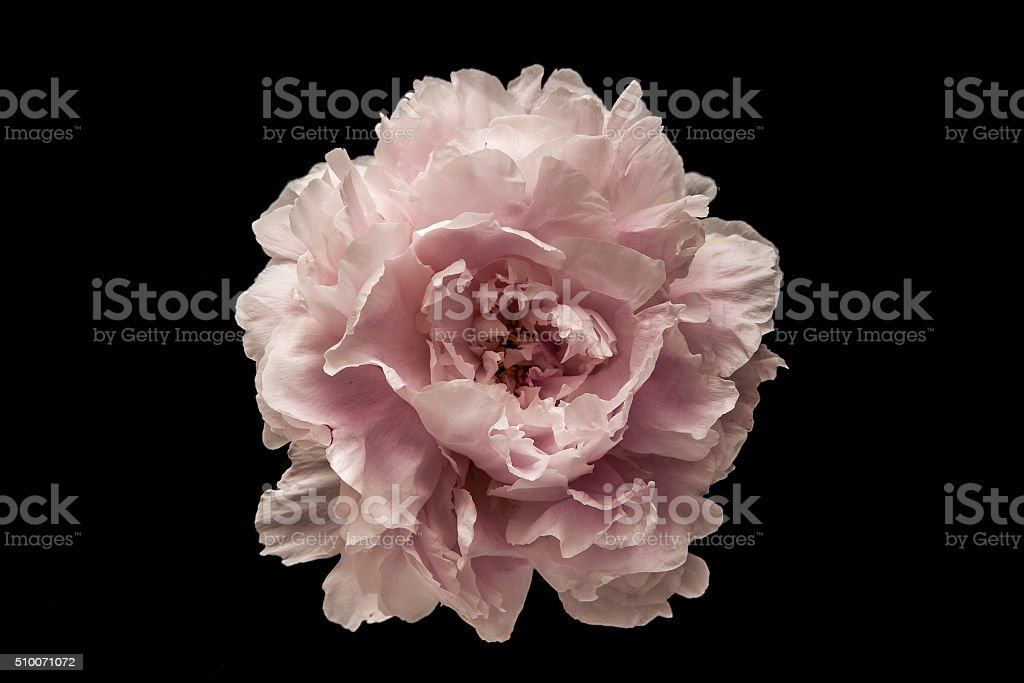 Pink flower on the black background stock photo