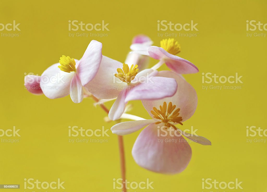 pink flower on yellow royalty-free stock photo