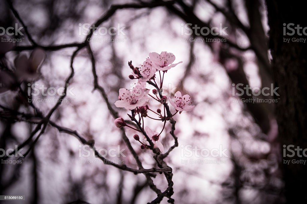 Pink flower out of dark background stock photo