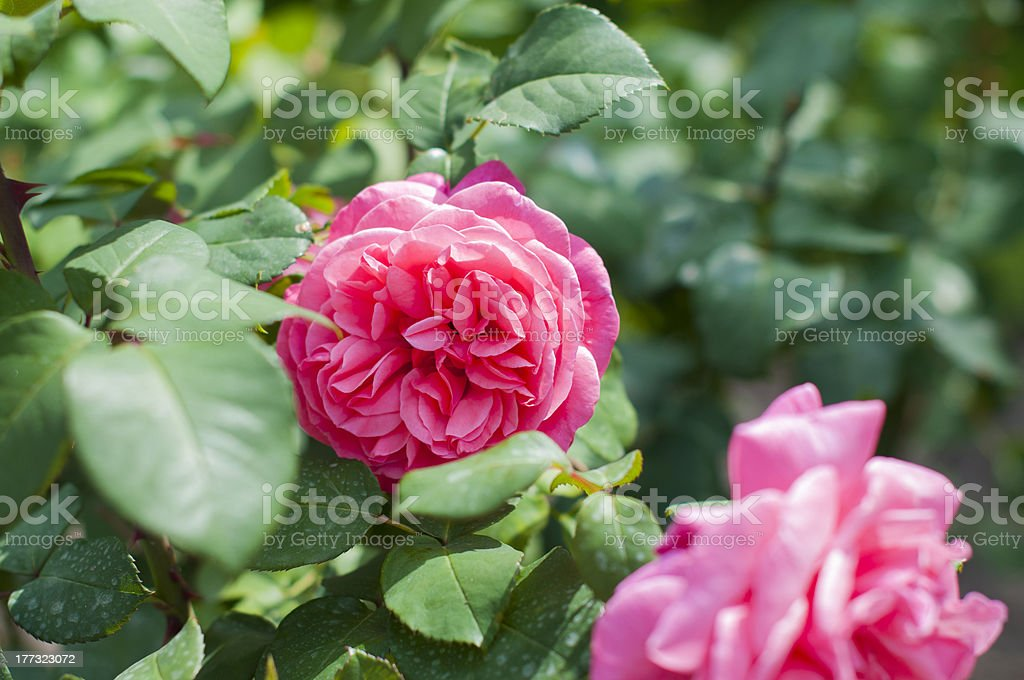 pink flower Peony roses on the bush stock photo