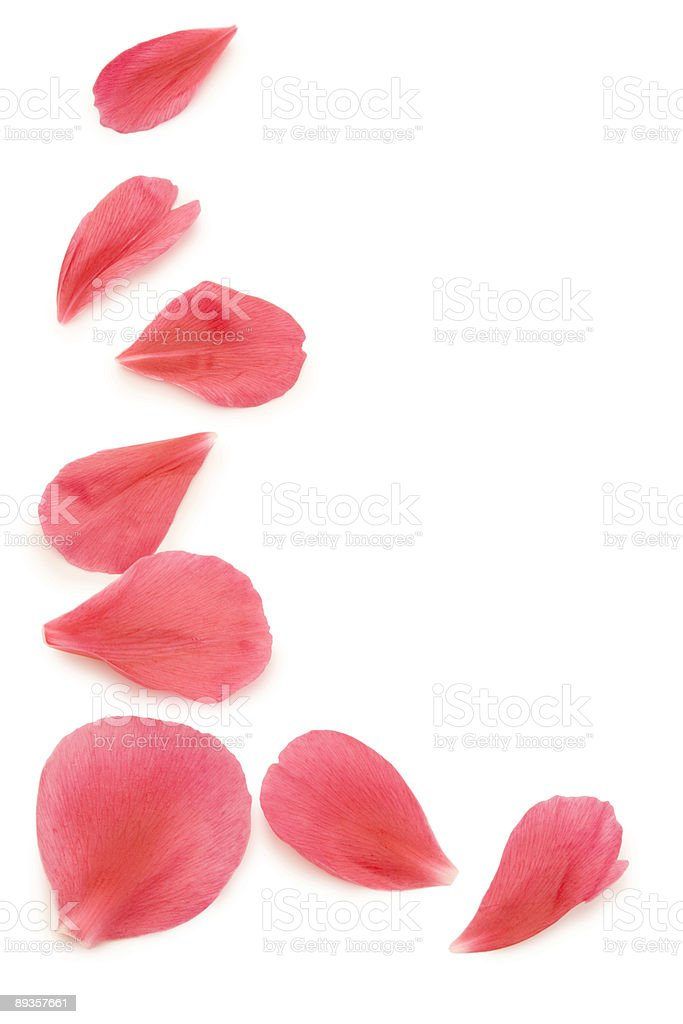 Pink flower petals on a white background stock photo