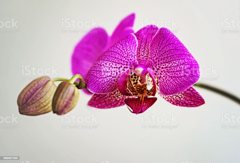 Pink flower Phalaenopsis orchid isolated on white background stock photo