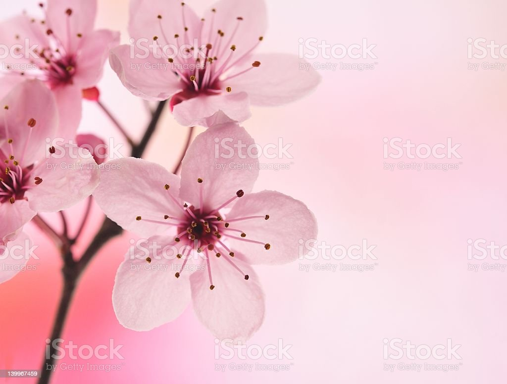 pink flower royalty-free stock photo