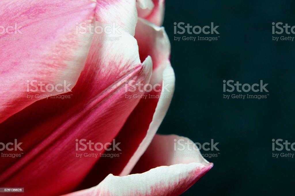 Pink flower (macro) stock photo