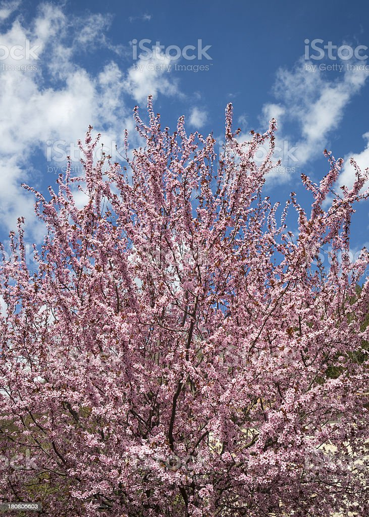 Pink flowered tree in April, Umbria Italy royalty-free stock photo