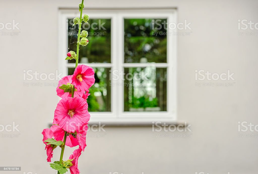Pink flowering and budding Common Hollyhock stock photo