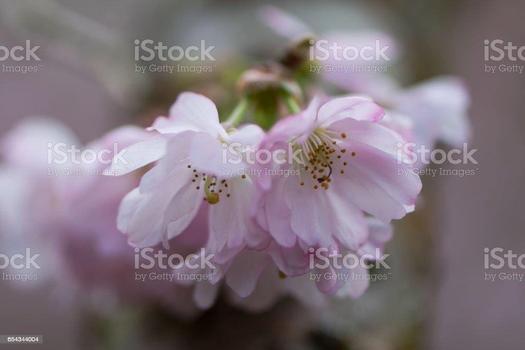 Pink flowering cherry, Prunus Accolade stock photo