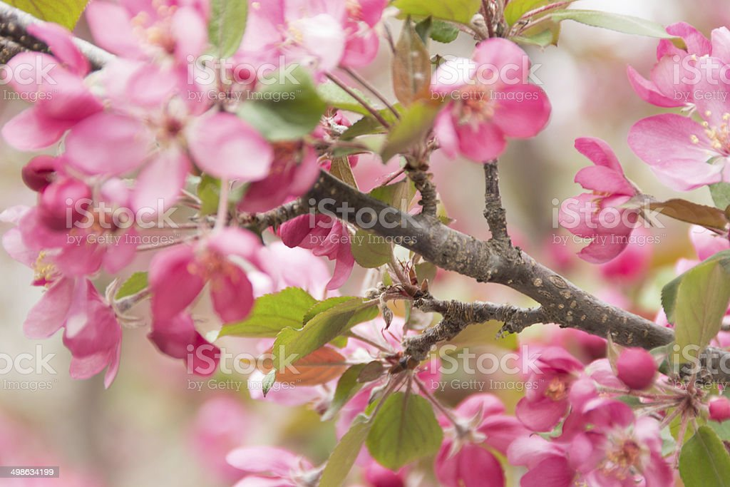 Pink flowering crab apple branch in wind. royalty-free stock photo
