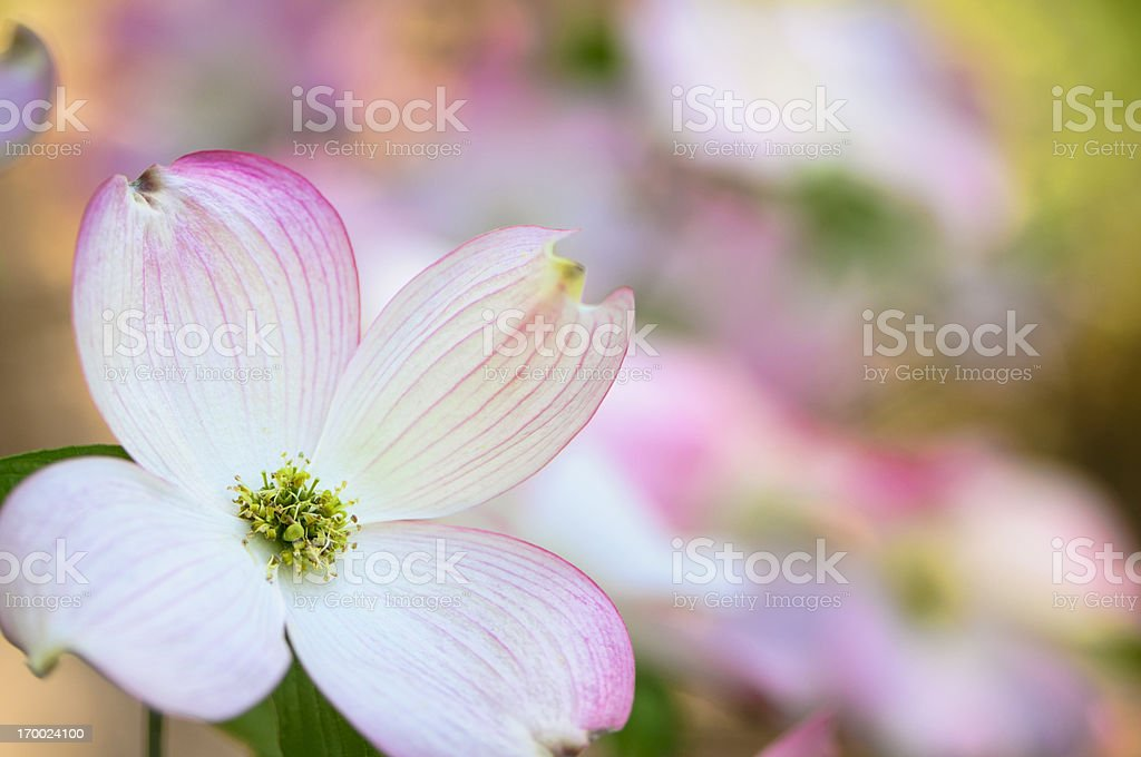 Pink flowering dogwood blossoms royalty-free stock photo