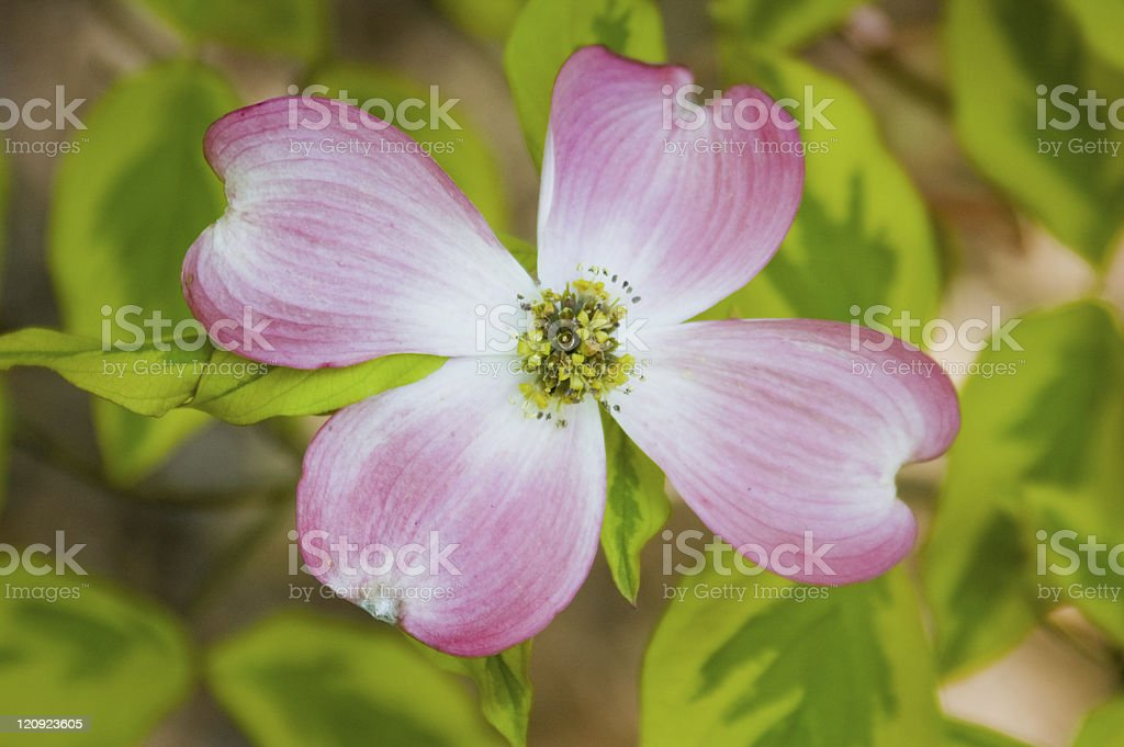 Pink flowering dogwood royalty-free stock photo