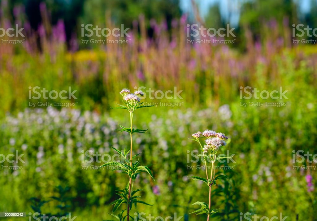 Pink flowering hemp agrimony in front of other wild plants stock photo