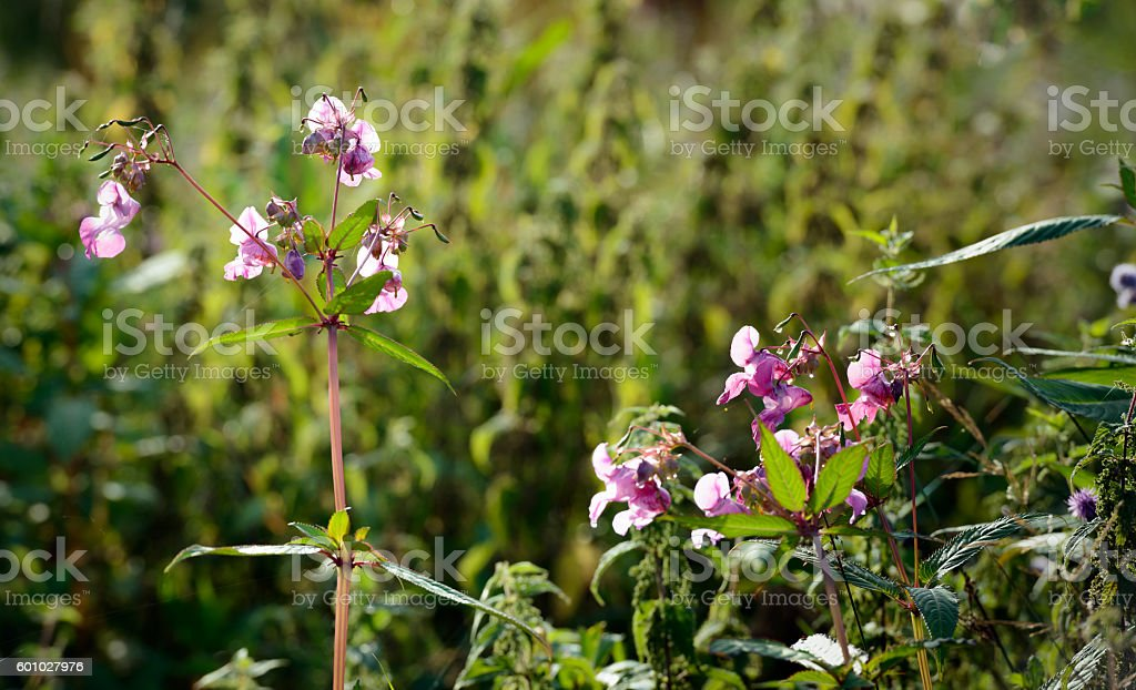Pink flowering Himalayan Balsam from close stock photo
