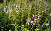 Pink flowering Himalayan Balsam from close