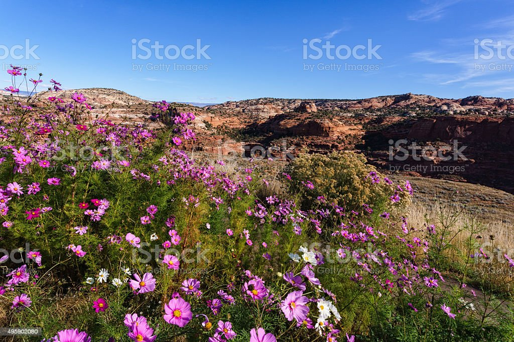 Pink Flowers and Escalante Canyon stock photo