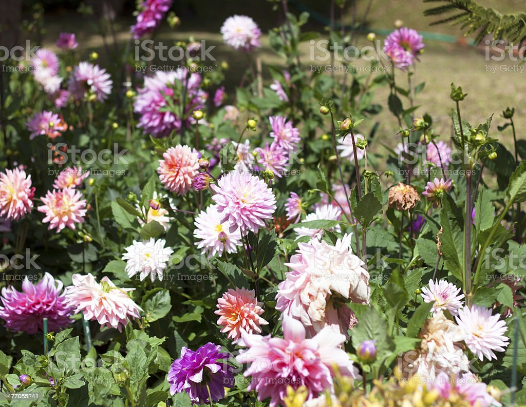 Pink flowers blooming in the garden royalty-free stock photo