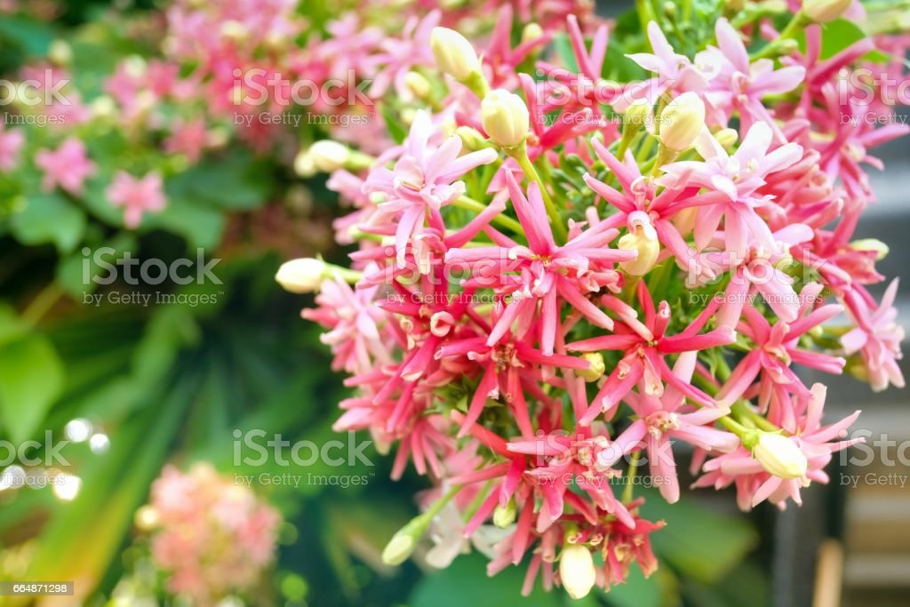Pink Flowers blossom, Quisqualis Indica flower, close up stock photo