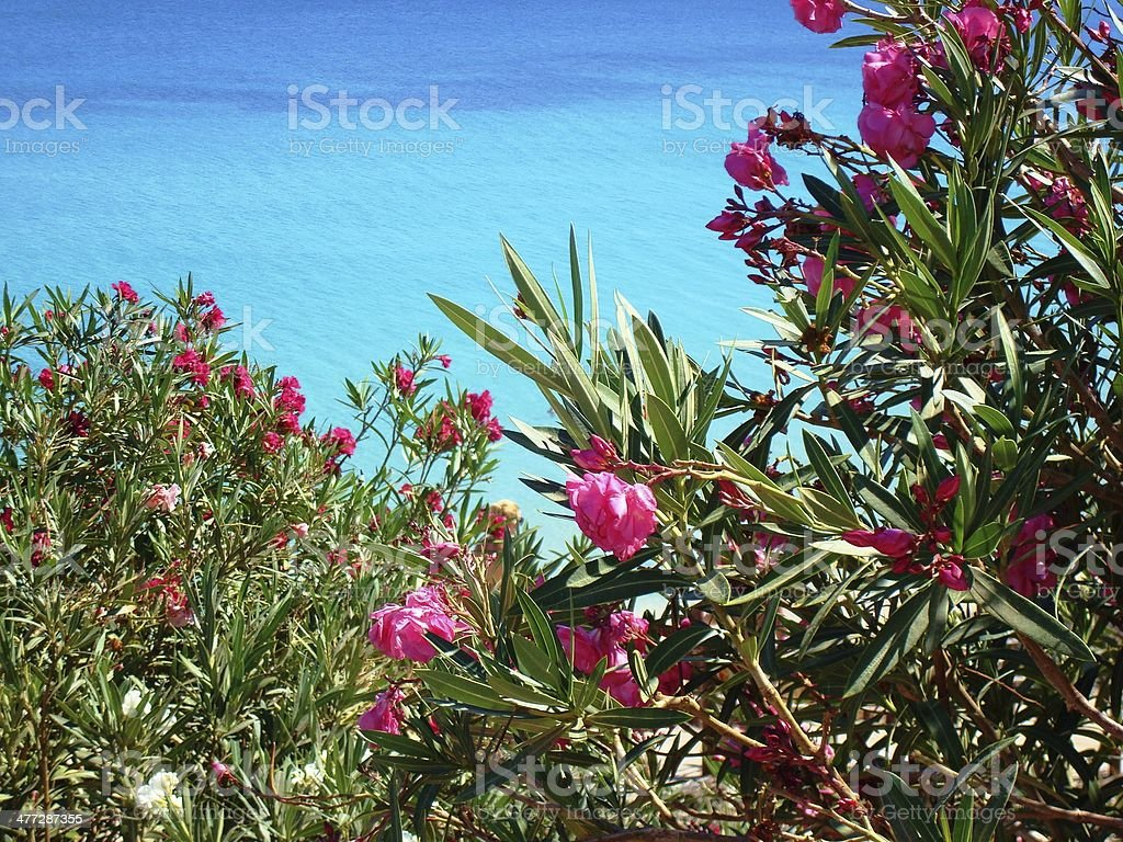Pink flowers by the sea stock photo