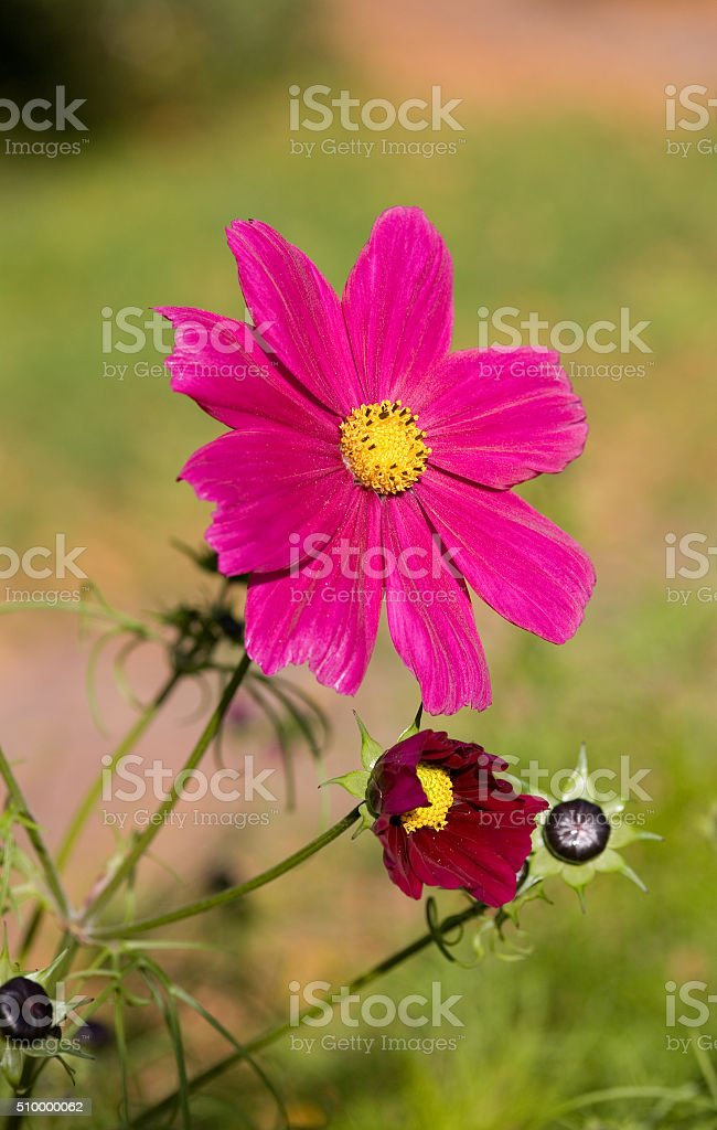 Pink flowers close up stock photo