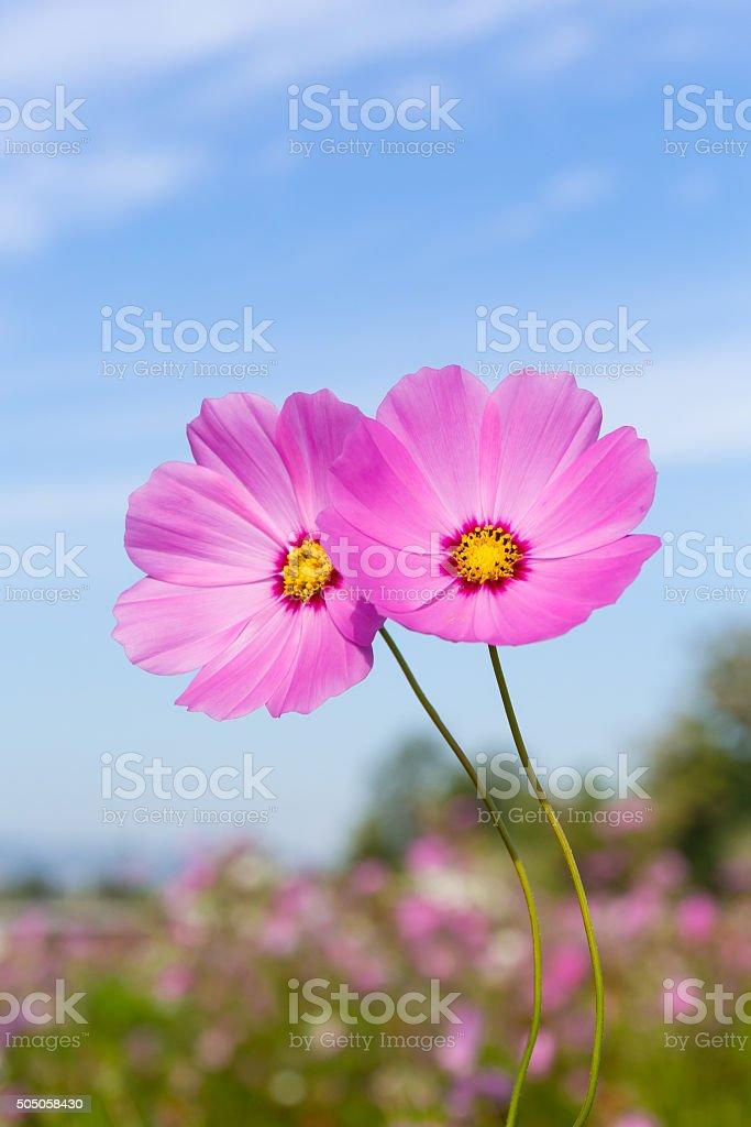 Pink flowers cosmos. stock photo
