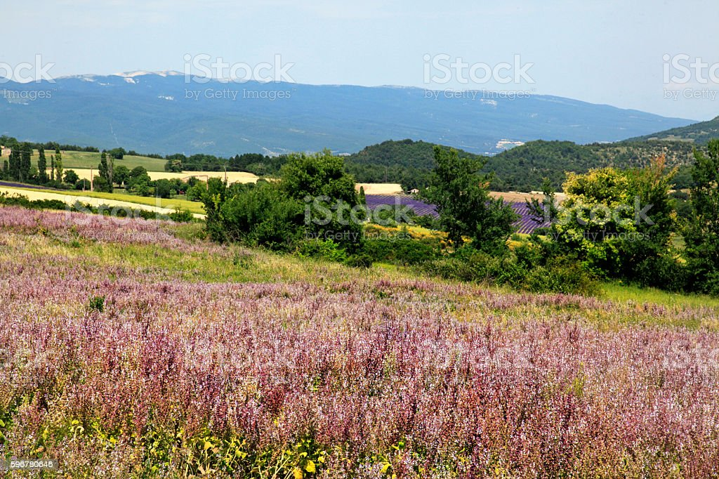Pink flowers, countryside, Alpes de  Haute-Provence, France stock photo