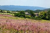Pink flowers, countryside, Alpes de  Haute-Provence, France