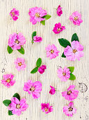 Pink flowers dog-rose on light wooden background.