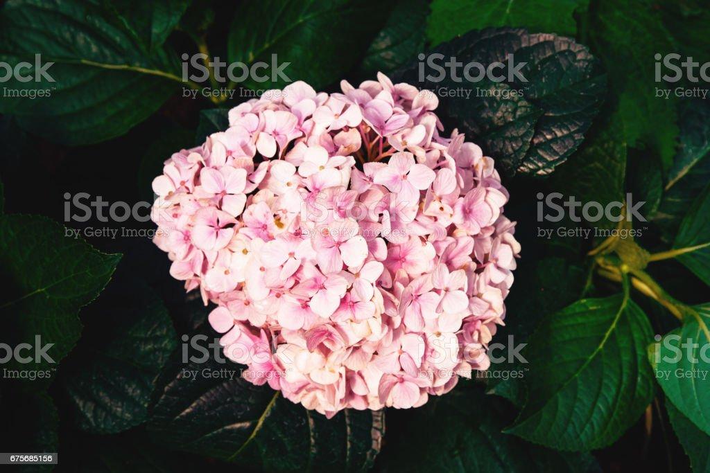 Pink flowers hydrangeas against dark background of leaves hydrangeas.