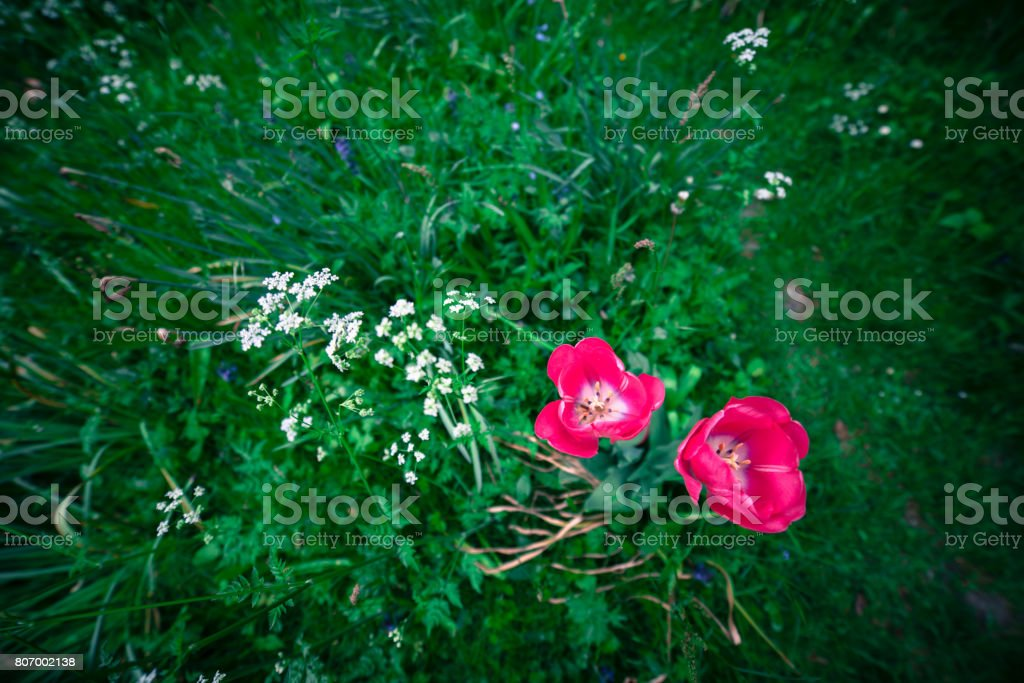Pink flowers in green grass stock photo