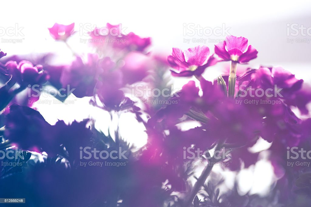 Pink flowers in morning haze stock photo