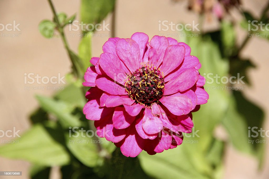 Pink flowers in the backyard. royalty-free stock photo