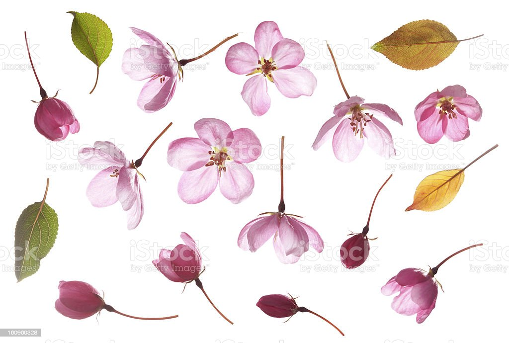 pink flowers, isolated on white stock photo