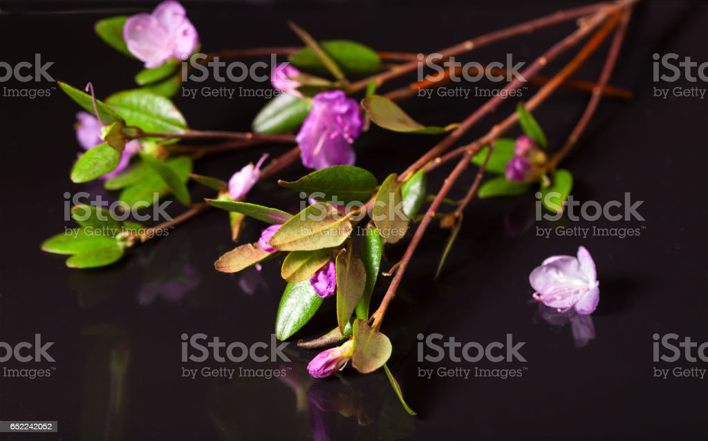 Pink flowers of a Labrador tea on a black background stock photo